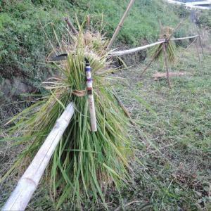 馬場豊島さん特選カマで、試し刈り。
