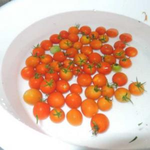 我が家の自然栽培ミニトマトは!