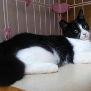 黑白ハチワレ猫(生後3~4ヶ月)保護しています!その2