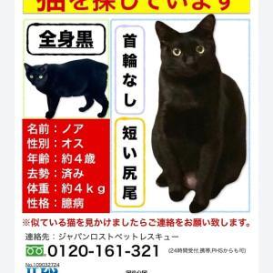 【目撃情報求む】黒猫ぼんぼり尻尾のノアくんを探しています!