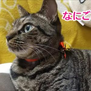 花火の音にビビる猫
