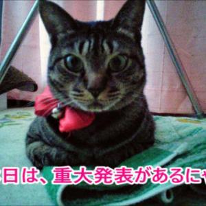 キジトラ猫の重大発表にゃ☆