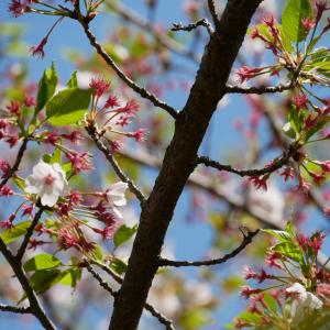葉桜✿から ことわざ談義