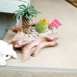 多肉植物EXPOからのロウルサンコさんは鉄板ルート