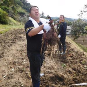 サツマイモ掘り(続き)