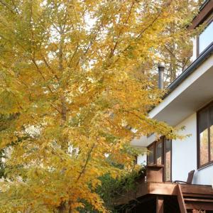 ハナノキという名のカエデの黄葉 and  メインクーン猫日記
