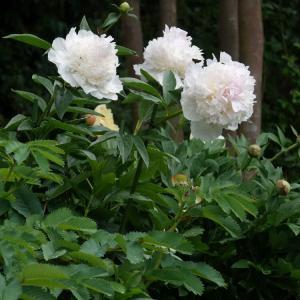 ハイブリッド芍薬:リリアン and 庭の様子