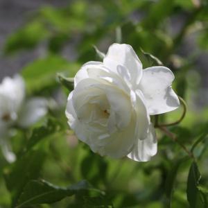 つるアイスバーグが咲きました。 そして「名花の競演」
