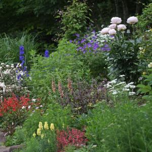 芍薬「かぐや姫」が咲く風景