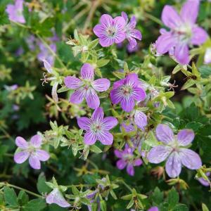 ゲラニウム・フェイアンナの魅力 and 今咲いている花たち