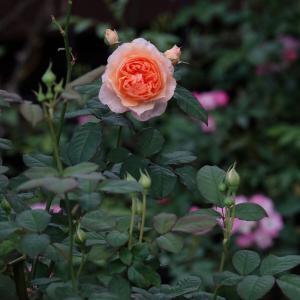 四季咲きのバラ KIZUNA