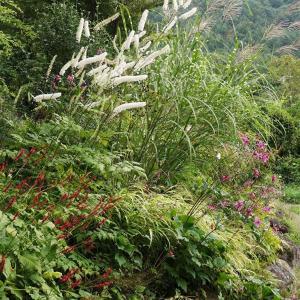 庭の様子 青と白のトリカブト and  メインクーン猫日記