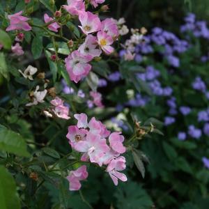 バレリーナが綺麗に咲いています。 and  ラグドール猫日記