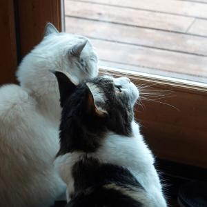 可愛い猫たち 窓の外が気になる季節 and  まだ咲いているバラ