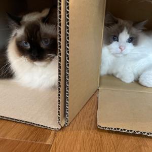切っても切れない、猫と箱 and  カリガネソウの開花