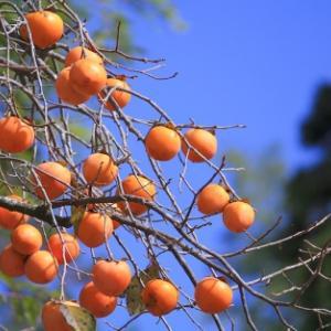 ルビー色の熟柿