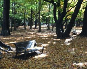 雨あがりの円山公園の紅葉。