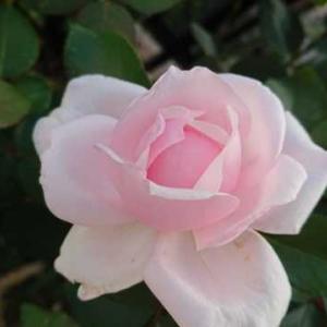 ショックな事と嬉しい事・・薔薇もボチボチ
