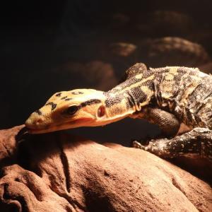 JRSに向けてのバーチャル爬虫類イベント と店頭イベントに参加しました(`・ω・´) +α