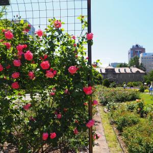 薔薇が咲いた  4