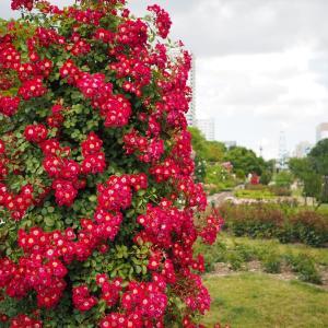 薔薇が咲いた 7
