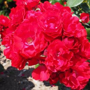 薔薇が咲いた 9