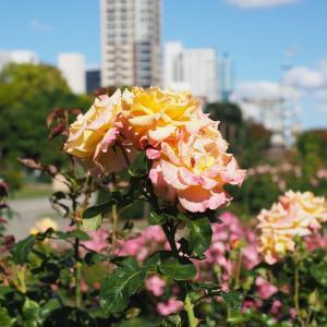 秋のバラ  2
