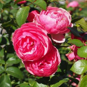 秋のバラ  4