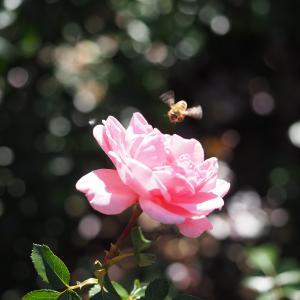 秋のバラ  5