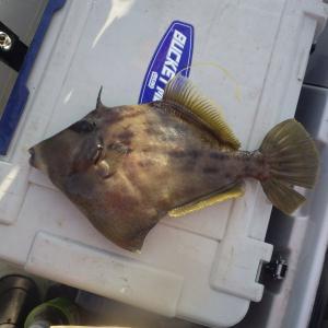 カワハギ釣り成功