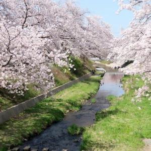 スケッチ・・・井手町・玉川堤の桜