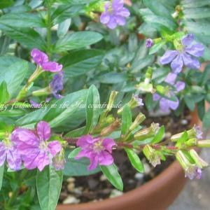 花咲く低い植え込みにお勧めの低木