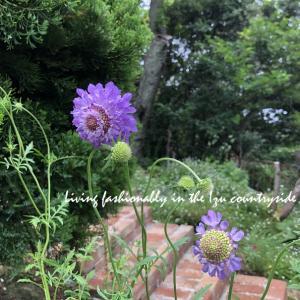 紫陽花の挿し木 3年分を一挙公開!