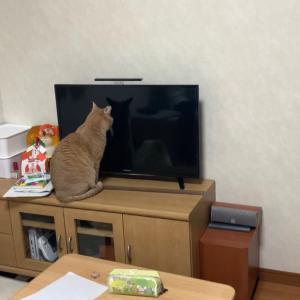 テレビを見つめるひのきです