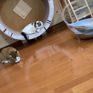 食通な食べ方をする猫