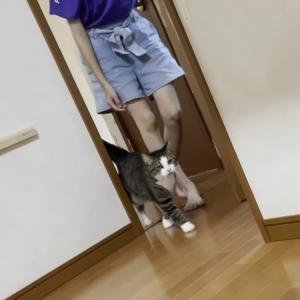 大好きな娘に撫でてほしくて必死に追いかける猫