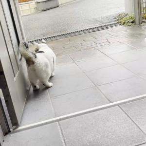 お父さんの後を小さい歩幅で付いて行く猫