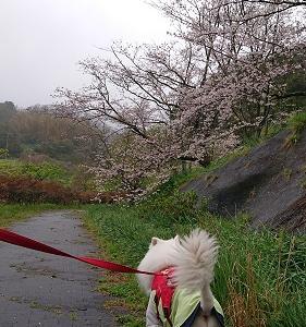 自粛の桜!