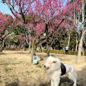 梅は咲いたか桜はまだかいな~
