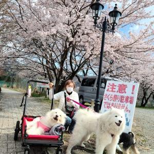 桜、見納め~