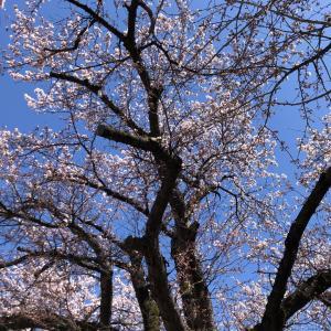 病院帰りのドーロステーションの桜