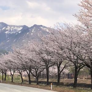 我が街の唯一の桜並木…だと思われる⁇(笑)