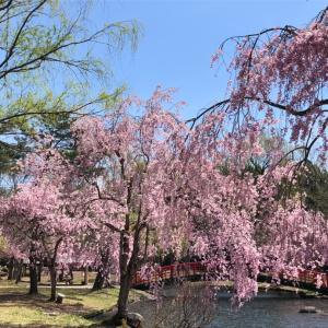 枝垂れ桜が見頃だったので…