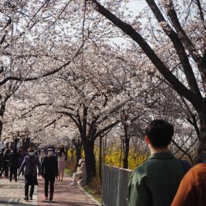 汝矣島(ヨイド)の桜路へ