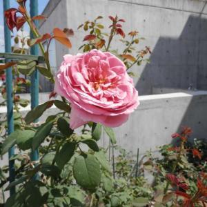 フライングで咲いているプリンセスアレキサンドラオブケント