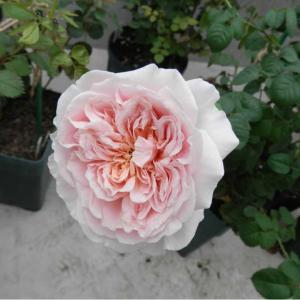 春に種まきしたバラもしっかりした花を咲かせるようになりました♪