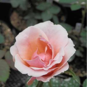 昨日開きかけのお花はロゼット咲きに変身しました!