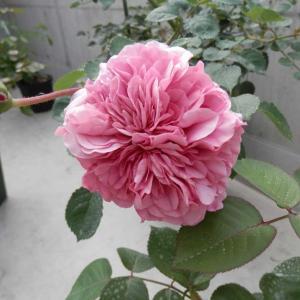 匍匐性のバラが開花!