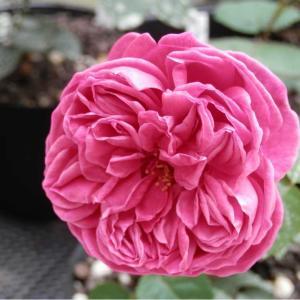 マダム・イサーク・ペレールの面影がある花になりました!