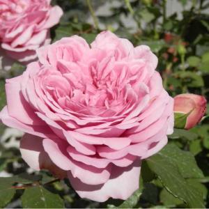 ローズポンパドールも2番花咲き出しました♪